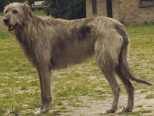 Wolf Hound from Wiki